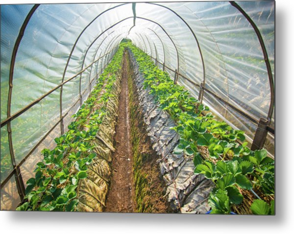Hydroponic Vegetable In A Garden Metal Print by Primeimages