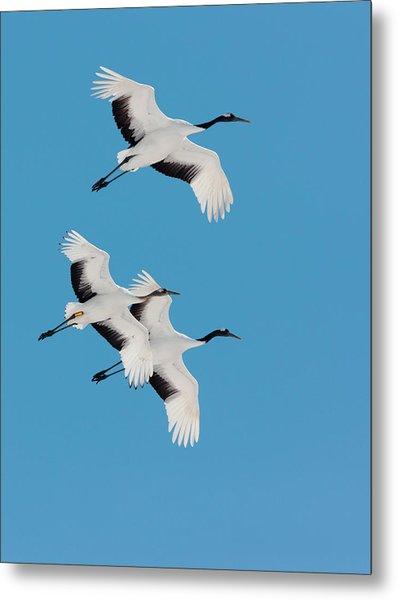 Japanese Cranes, Hokkaido, Japan Metal Print
