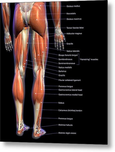 Labeled Anatomy Chart Of Male Leg Metal Print