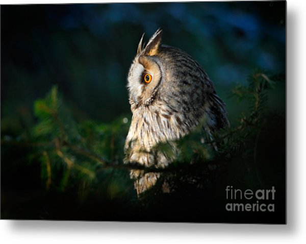 Long-eared Owl Sitting On The Branch In Metal Print