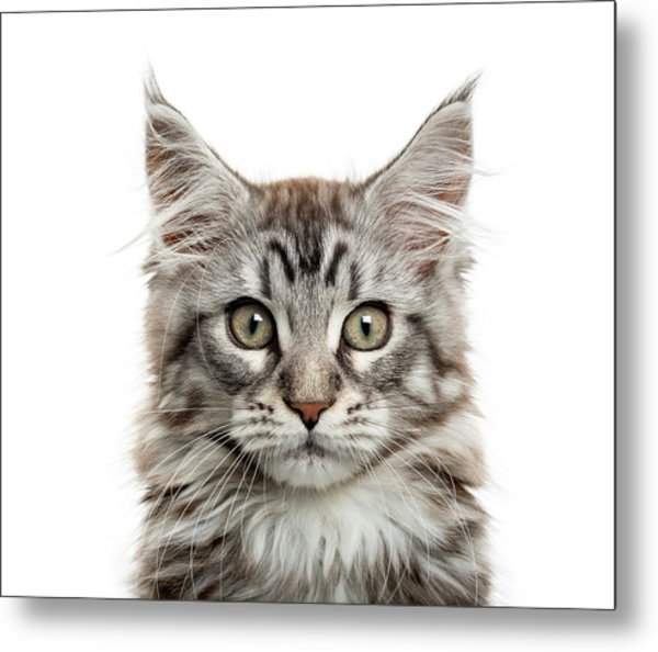 Maine Coon Kitten In Front Of White Metal Print by Life On White