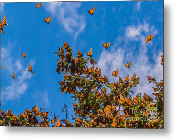 Monarch Butterflies On Tree Branch In Metal Print