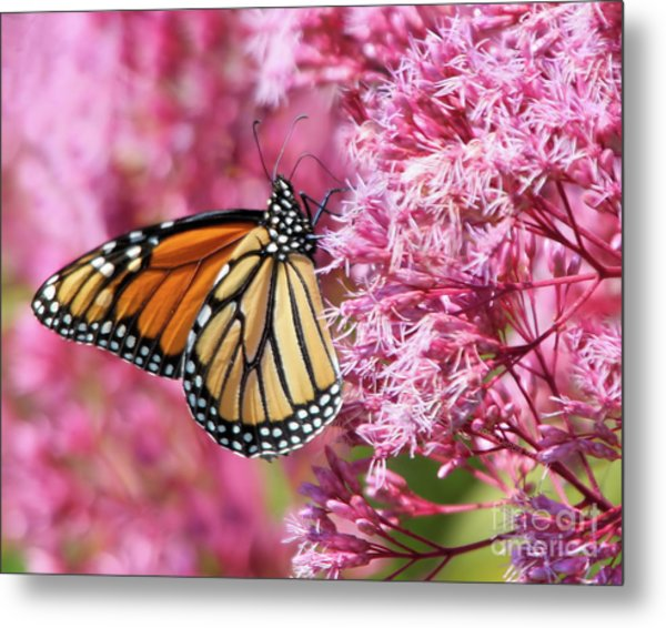 Metal Print featuring the photograph Monarch Butterfly by Debbie Stahre