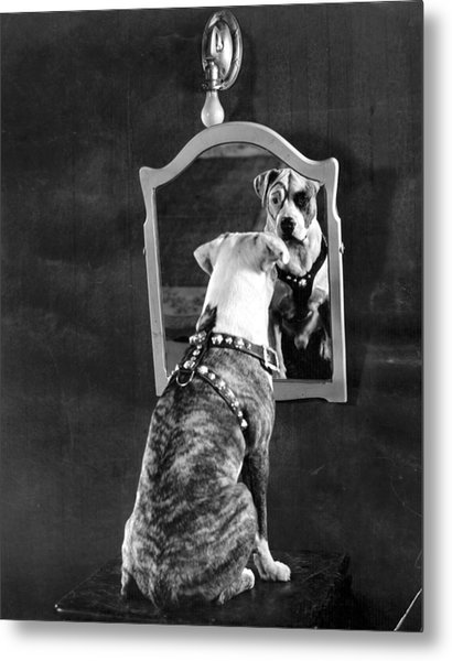 Pete The Pup Metal Print by General Photographic Agency