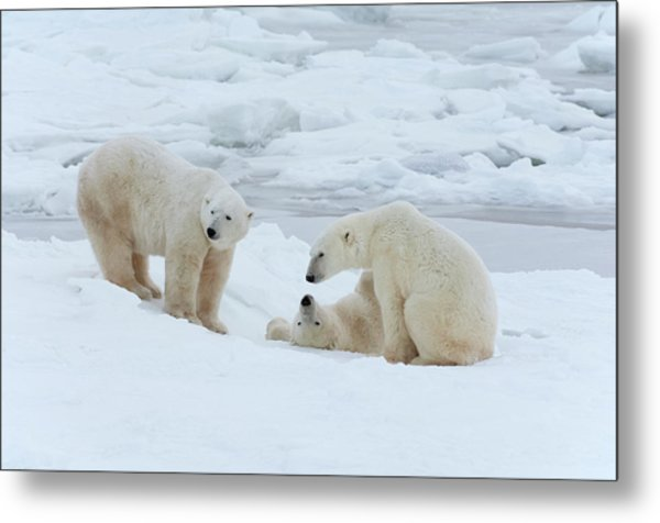 Polar Bears In The Wild. A Powerful Metal Print by Mint Images - David Schultz