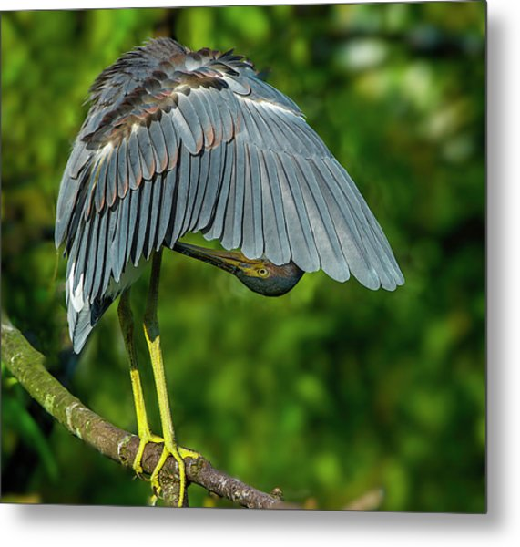 Metal Print featuring the photograph Preening Reddish Heron by Donald Brown