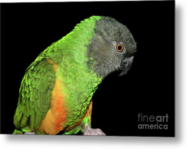 Metal Print featuring the photograph Senegal Parrot by Debbie Stahre