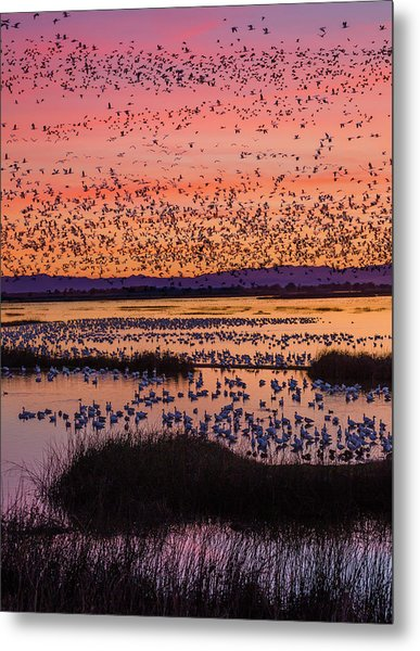 Snow Geese Chen Caerulescens At Sunset Metal Print