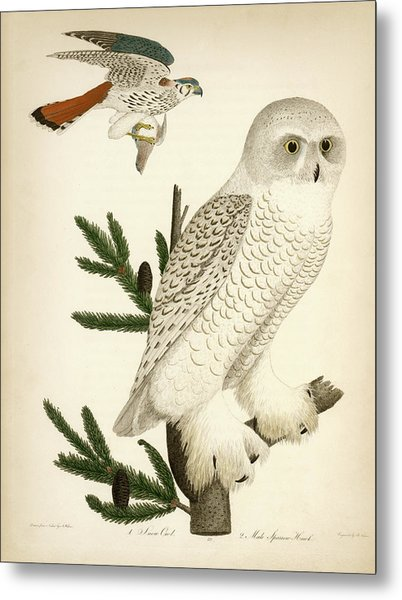 1. Snow Owl. 2. Male Sparrow-hawk. Metal Print