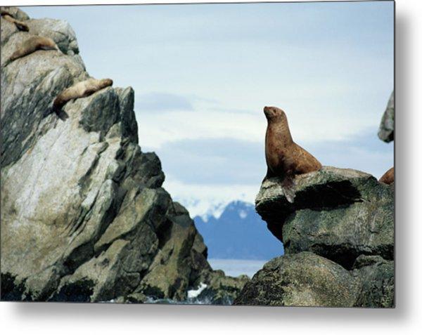 Stellers Sea Lion Eumetopiasjubatus Metal Print