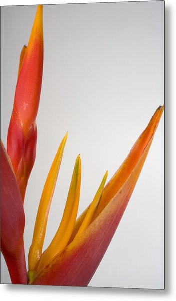 Studio Shot Of Orange And Red Heliconia Metal Print by Design Pics/tomas Del Amo