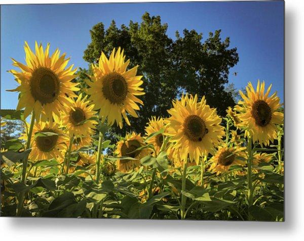 Sunlit Sunflowers Metal Print