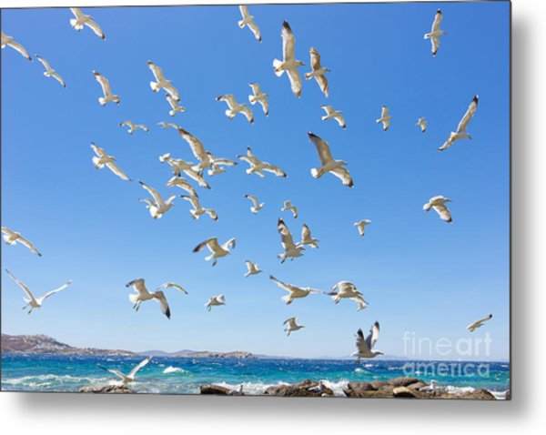 Swarm Of Sea Gulls Flying Close To The Metal Print
