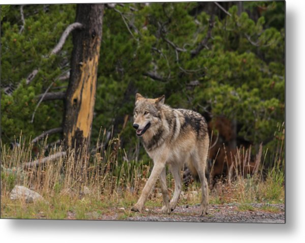 Metal Print featuring the photograph W1 by Joshua Able's Wildlife