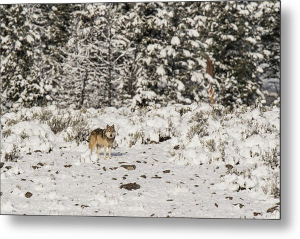 Metal Print featuring the photograph W20 by Joshua Able's Wildlife