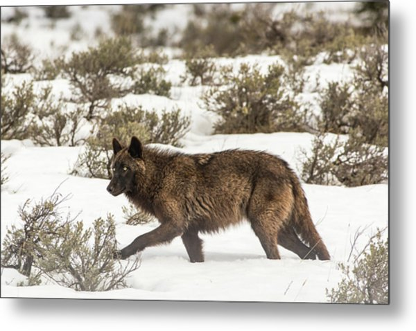 Metal Print featuring the photograph W4 by Joshua Able's Wildlife