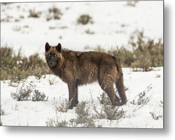 Metal Print featuring the photograph W8 by Joshua Able's Wildlife
