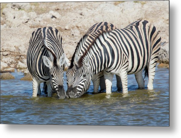 Zebras Lined Up Drinking At Waterhole Metal Print by Darrell Gulin