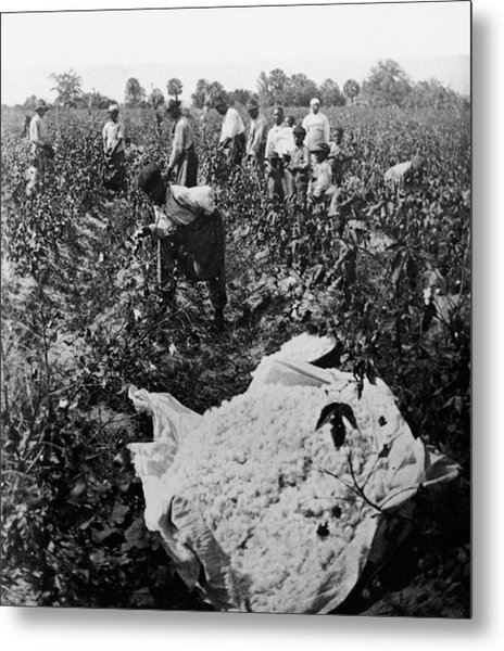 19th Century Cotton Picking Metal Print by Lightfoot