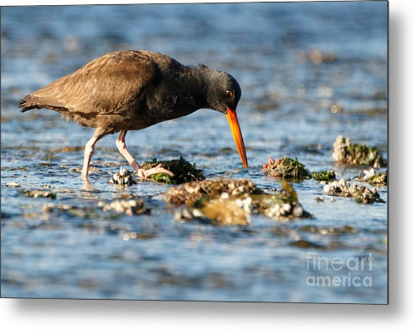Metal Print featuring the photograph Black Oystercatcher by Sue Harper