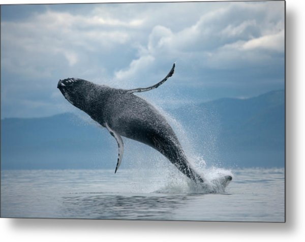 Breaching Humpback Whale, Alaska Metal Print by Paul Souders
