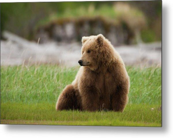 Brown Bear, Katmai National Park Metal Print by Mint Images/ Art Wolfe