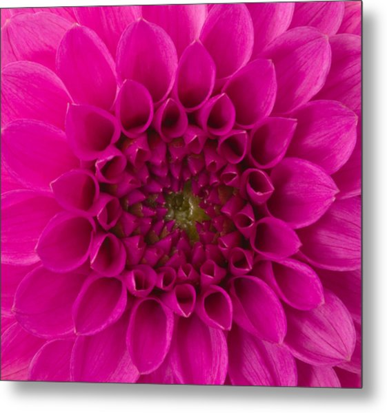 Dahlia Metal Print by Vidok
