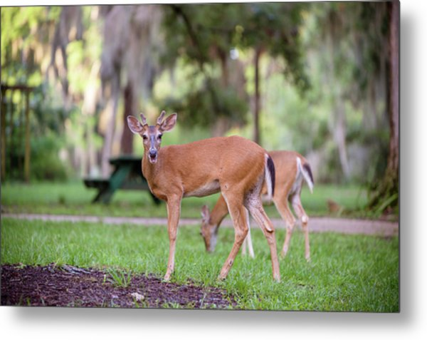 Feeding Deer Metal Print