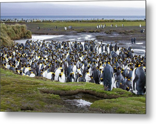 King Penguin Rookery At Salisbury Plain Metal Print by Tom Norring