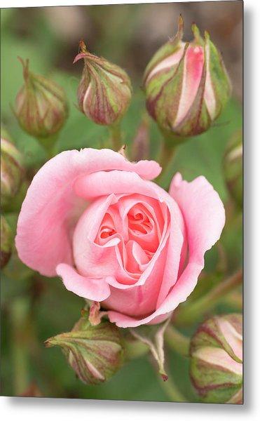 Pink Rose, International Rose Test Metal Print by William Sutton