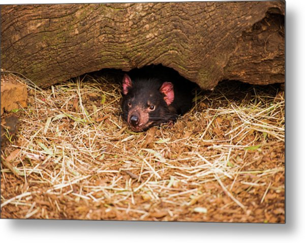 Metal Print featuring the photograph Tasmanian Devil In Hobart, Tasmania. by Rob D
