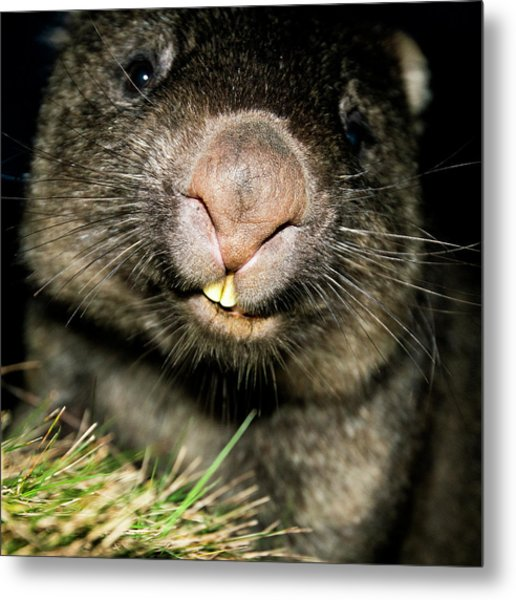 Wombat At Night Metal Print
