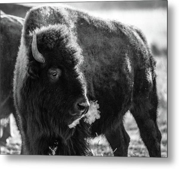 Metal Print featuring the photograph American Bison by Philip Rodgers