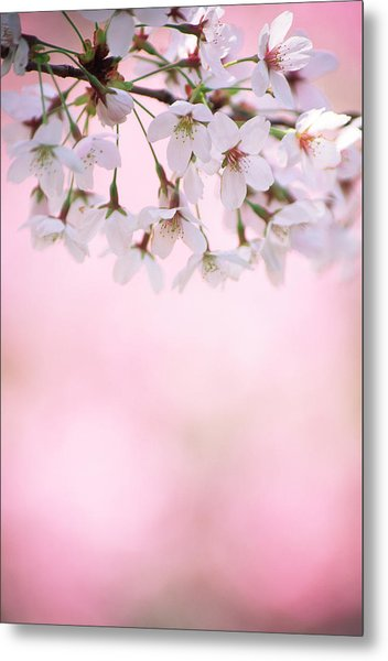 Cherry Blossoms Metal Print by Ooyoo