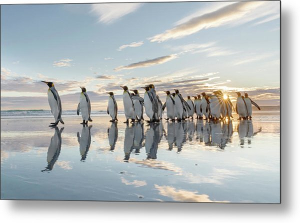 King Penguin On The Falkland Islands Metal Print by Martin Zwick