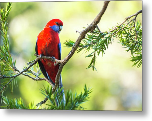 Metal Print featuring the photograph Crimson Rosella by Rob D