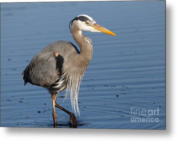 Metal Print featuring the photograph Great Blue Heron by Sue Harper