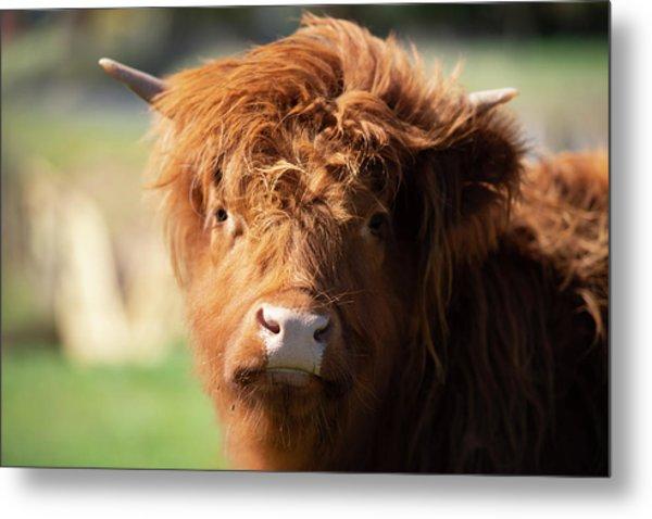 Highland Cow On The Farm Metal Print