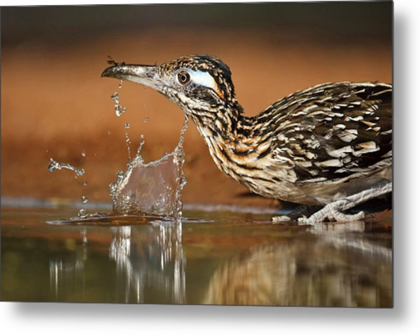 Greater Roadrunner Geococcyx Metal Print by Danita Delimont