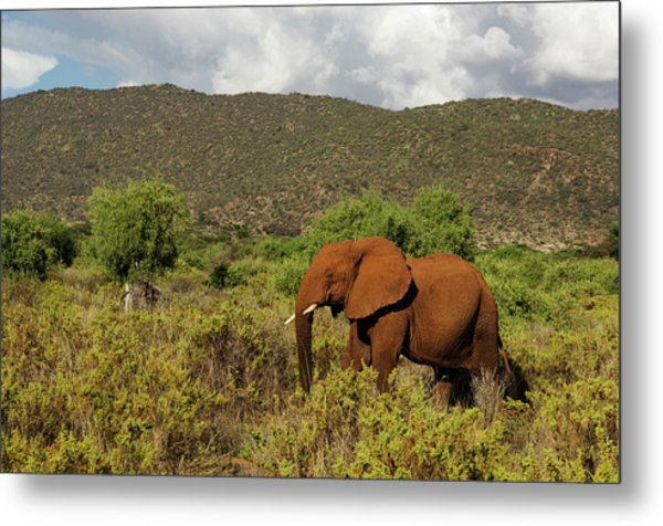 African Elephant Loxodonta Africana Metal Print by Ariadne Van Zandbergen