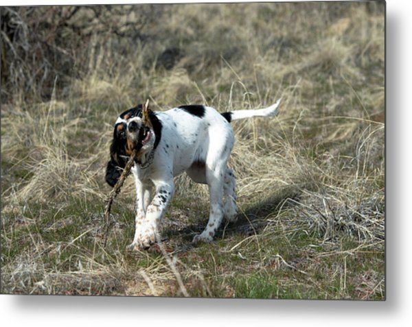 English Setter Puppy, 14 Weeks Metal Print by William Mullins