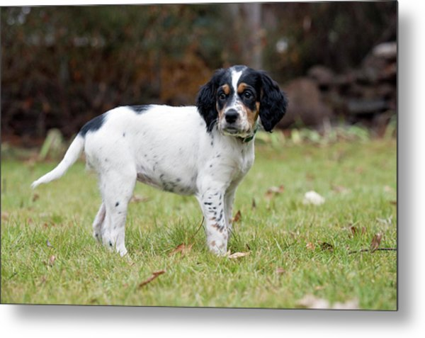 English Setter Puppy, 8 Weeks Metal Print by William Mullins
