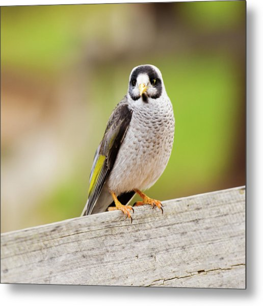 Metal Print featuring the photograph Noisy Miner Bird By Itself by Rob D