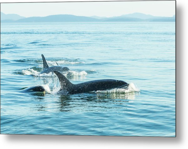 Surfacing Resident Orca Whales Metal Print by Stuart Westmorland