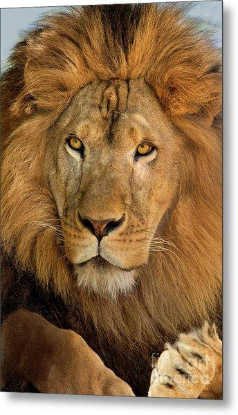 656250006 African Lion Panthera Leo Wildlife Rescue Metal Print
