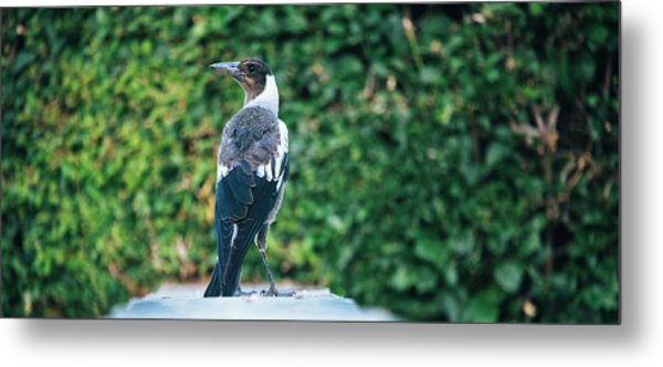 Metal Print featuring the photograph Australian Magpie Outdoors by Rob D