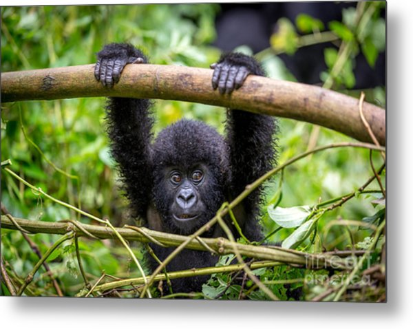 A Baby Gorila Inside The Virunga Metal Print by Lmspencer