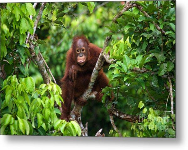 A Baby Orangutan In The Wild Metal Print