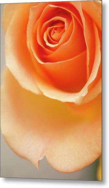 A Close-up Of Peach Rose Flower Metal Print