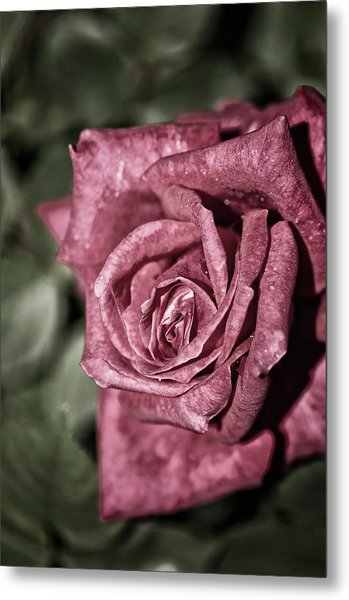 A Close-up Of Single Rose Flower Metal Print